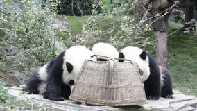 Χνουδωτός cub panda γκάγκστερ στη βάση Chengdu Panda, Κίνα απόθεμα βίντεο