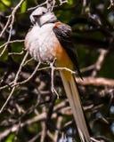 Χνουδωτός flycatcher που διαπεράστηκε σε ένα δέντρο στοκ εικόνες με δικαίωμα ελεύθερης χρήσης