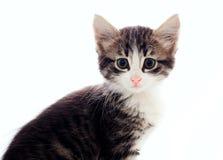 χνουδωτό γκρίζο γατάκι Στοκ φωτογραφία με δικαίωμα ελεύθερης χρήσης