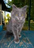 χνουδωτό γκρίζο γατάκι Στοκ εικόνες με δικαίωμα ελεύθερης χρήσης