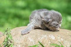 Χνουδωτό λίγο γατάκι είναι ακόμα πολύ βλέπει σε τίποτα meows το κοίταγμα στοκ εικόνα