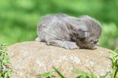 Χνουδωτό λίγο γατάκι είναι ακόμα πολύ βλέπει σε τίποτα meows το κοίταγμα στοκ εικόνες