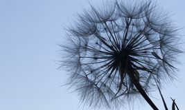 Χνουδωτό λουλούδι σκιαγραφιών πικραλίδων στον μπλε ουρανό ηλιοβασιλέματος Στοκ φωτογραφίες με δικαίωμα ελεύθερης χρήσης