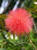 Χνουδωτό λουλούδι Στοκ φωτογραφία με δικαίωμα ελεύθερης χρήσης