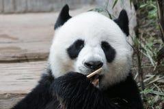 Χνουδωτό πρόσωπο της Panda ` s κινηματογραφήσεων σε πρώτο πλάνο, Ταϊλάνδη Στοκ φωτογραφία με δικαίωμα ελεύθερης χρήσης