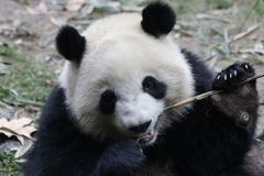 Χνουδωτό πρόσωπο της Panda ` s κινηματογραφήσεων σε πρώτο πλάνο, Chengdu, Κίνα Στοκ εικόνες με δικαίωμα ελεύθερης χρήσης