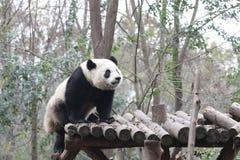 Χνουδωτό πρόσωπο της Panda ` s κινηματογραφήσεων σε πρώτο πλάνο, Chengdu, Κίνα Στοκ Φωτογραφίες