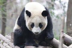 Χνουδωτό πρόσωπο της Panda ` s κινηματογραφήσεων σε πρώτο πλάνο, Chengdu, Κίνα Στοκ Εικόνες