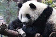 Χνουδωτό πρόσωπο της Panda ` s κινηματογραφήσεων σε πρώτο πλάνο, Chengdu, Κίνα Στοκ φωτογραφία με δικαίωμα ελεύθερης χρήσης