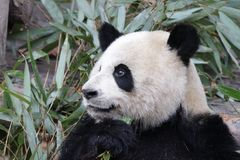 Χνουδωτό πρόσωπο της Panda ` s κινηματογραφήσεων σε πρώτο πλάνο, Chengdu, Κίνα Στοκ φωτογραφίες με δικαίωμα ελεύθερης χρήσης