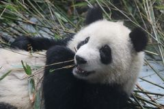 Χνουδωτό πρόσωπο της Panda ` s κινηματογραφήσεων σε πρώτο πλάνο, Chengdu, Κίνα Στοκ Εικόνα