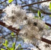 Χνουδωτά συγκεχυμένα άνθη Στοκ Εικόνες