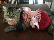 Χνουδωτή γάτα γατακιών που ντύνεται επάνω σε ένα όμορφο φόρεμα καρδιών Στοκ φωτογραφία με δικαίωμα ελεύθερης χρήσης