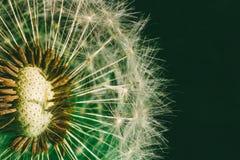 Χνουδωτή πικραλίδα με τα αλεξίπτωτα σπόρου στην πράσινη κινηματογράφηση σε πρώτο πλάνο υποβάθρου Στοκ Εικόνες