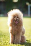 Χνουδωτή poodle φυλή cutie Στοκ Φωτογραφίες