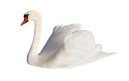 Χνουδωτός άσπρος κύκνος στοκ εικόνα με δικαίωμα ελεύθερης χρήσης
