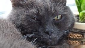 Χνουδωτός γκρίζος στενός επάνω γατών φιλμ μικρού μήκους