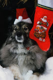 Χνουδωτός-μαλλιαρό σκυλί που περιμένει Santa Στοκ Εικόνες
