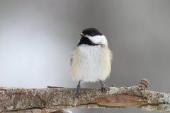 Χνουδωτός χειμώνας Chickadee Στοκ εικόνες με δικαίωμα ελεύθερης χρήσης