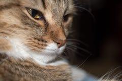 Χνουδωτό γκρίζο όμορφο γατάκι στοκ φωτογραφίες