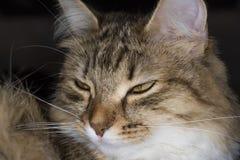 Χνουδωτό γκρίζο όμορφο γατάκι στοκ εικόνα