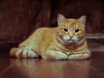 Χνουδωτό γκρίζο όμορφο γατάκι στοκ εικόνα με δικαίωμα ελεύθερης χρήσης