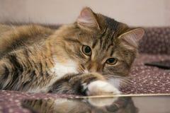 Χνουδωτό γκρίζο όμορφο γατάκι στοκ φωτογραφία