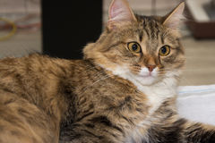Χνουδωτό γκρίζο όμορφο γατάκι στοκ φωτογραφία με δικαίωμα ελεύθερης χρήσης
