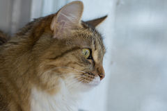 Χνουδωτό γκρίζο όμορφο γατάκι στοκ φωτογραφίες με δικαίωμα ελεύθερης χρήσης