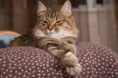 Χνουδωτό γκρίζο όμορφο γατάκι στοκ εικόνες