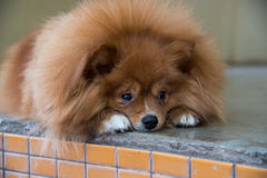 Χνουδωτό καφετί σκυλί Στοκ Φωτογραφίες