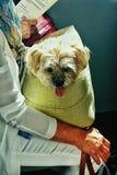 Χνουδωτό σκυλάκι σαλονιού Στοκ φωτογραφίες με δικαίωμα ελεύθερης χρήσης