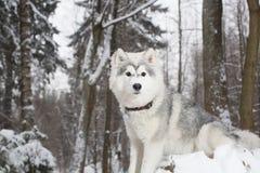 Χνουδωτό σκυλί στο χειμερινό δάσος γεροδεμένο Στοκ Φωτογραφία