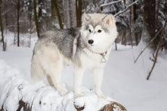Χνουδωτό όμορφο σκυλί που βρίσκεται σε ένα κούτσουρο Χειμώνας Γεροδεμένος Στοκ φωτογραφίες με δικαίωμα ελεύθερης χρήσης