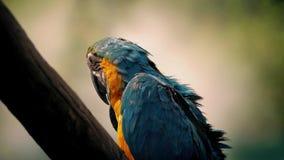 Χνούδια παπαγάλων τα φτερά και το Squawks του φιλμ μικρού μήκους