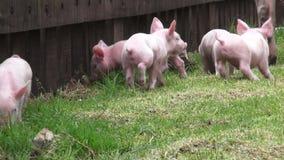 Χοίροι μωρών, χοιρίδια, γουρούνια, ζώα αγροκτημάτων απόθεμα βίντεο