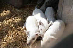 χοίροι μωρών Στοκ εικόνες με δικαίωμα ελεύθερης χρήσης