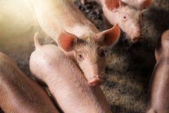 Χοίροι στο αγρόκτημα Βιομηχανία κρέατος Στοκ Φωτογραφίες