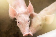 Χοίροι στο αγρόκτημα Βιομηχανία κρέατος Στοκ Εικόνες