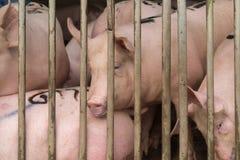 Χοίροι στο αγρόκτημα Στοκ εικόνες με δικαίωμα ελεύθερης χρήσης
