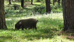 Χοίροι, χοίροι μωρών, χοιρίδια, γουρούνια, ζώα αγροκτημάτων φιλμ μικρού μήκους