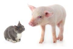 Χοίρος και γάτα στοκ φωτογραφία με δικαίωμα ελεύθερης χρήσης