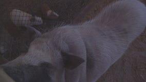 Χοίρος στην αγροτική κινηματογράφηση σε πρώτο πλάνο ζωολογικών κήπων απόθεμα βίντεο