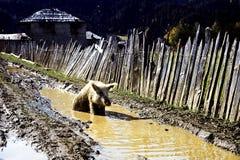 Χοίρος wallow στη λάσπη, Svanetien, Καύκασος στοκ εικόνα με δικαίωμα ελεύθερης χρήσης