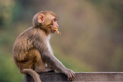 Χογκ Κογκ macaque Στοκ Εικόνες