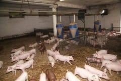 Χοιρίδια που μεγαλώνουν το INT αυτός σιταποθήκη στο αγροτικό ζωικό αγρόκτημα Στοκ Εικόνα