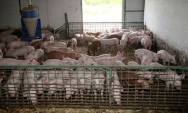 Χοιρίδια που μεγαλώνουν το INT αυτός σιταποθήκη στο αγροτικό ζωικό αγρόκτημα Στοκ εικόνα με δικαίωμα ελεύθερης χρήσης