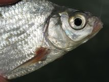 Χονδροειδής αλιεία για breams στοκ φωτογραφίες