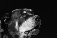 χοντροσκαλίδρα διαμαντ&io Στοκ Εικόνες