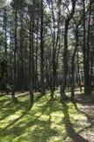 Χορεύοντας δάσος στον οβελό Curonian Στοκ Φωτογραφία